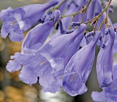 Jacaranda, my favorite flowering tree Blue And Purple Flowers, Red Flowers, Beautiful Flowers, Garden Trees, Trees To Plant, Hawaiian Flowers, Rare Plants, Flower Quotes, Types Of Flowers