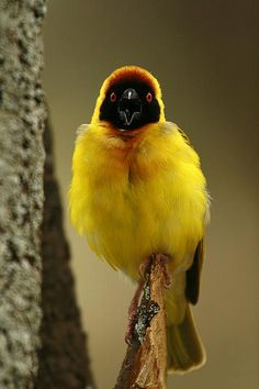 Speke's Weaver - named after John Speke, a British officer who made three expoditionary trips to Africa in search of the Source of the Nile. The bird is native to Eastern Africa.