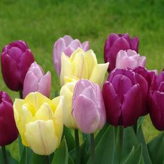 """Single Early Tulip 'Candy Prince' (light purple) and 'Sunny Prince' (yellow). Tulipa. 'Candy Prince' gets 14"""" tall, 'Sunny Prince' grows to 16-18"""" tall. Bloom in May."""