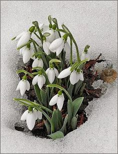 snow and flowers Beautiful Flowers, Spring Garden, Flower Garden, Flowers, Daffodils, Plants, Planting Flowers, Spring Flowers, White Gardens
