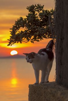 """""""Sunset and evening star, and one clear call for me. Crazy Cat Lady, Crazy Cats, Big Cats, Cool Cats, Cats And Kittens, Kitty Cats, Animals And Pets, Cute Animals, Gatos Cats"""