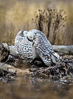 snowy owl pair - Google Search