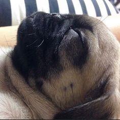 Sleepin'  Follow @dal9ram - Tag #TheTomCoteShow your pug pics for a chance to BE…