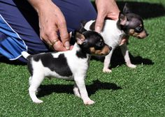 Toy Fox Terrier Puppies – Envoy…dogs and puppies Rat Terriers, Perros Rat Terrier, Toy Fox Terrier Puppies, Smooth Fox Terriers, Chihuahua Puppies, Bull Terrier Dog, Cute Dogs And Puppies, I Love Dogs, Doggies