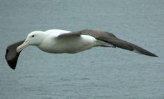 lovely albatross