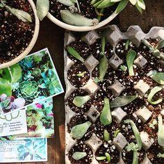 Compañía Botánica Propagating Succulents, Succulent Gardening, Succulents Garden, Container Gardening, Planting Flowers, Mini Cactus, Concrete Garden, Cactus Y Suculentas, Miniature Fairy Gardens