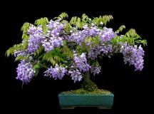 Aqui uma galeria com a beleza de 100 bonsais em floração. São Azaléias, Bougainvilleas, Cácias imperiais, Exoras, Caliandras, etre muitas outras árvores que encantam a todos aqueles que gostam de …