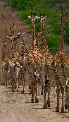 Giraffes..follow the leader