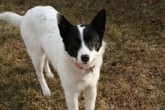 Aussie is an adoptable Border Collie Dog in Lakewood, CO. Adult Female, Border Collie and Mini Australian Shepherd Aussie (formerly Missy) was pulled from a New Mexico shelter on her scheduled euthana...