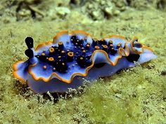Dermatobranchus ornatus    ;)