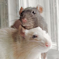 Allow yourself to be charmed by rats. It's one of the best gifts you could ever give yourself. EVER.