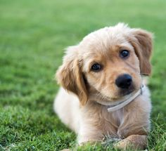 Puppy potty training can be a difficult and frustrating experience. The process will require patience and consistent discipline to properly train your puppy. Puppies should begin potty training as soon as they are brought home. Puppy Potty Training Tips, Training Your Dog, Dog Potty, Aggressive Dog, Dog Behavior, New Puppy, Best Dogs, Treats, Grass Field