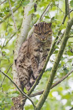 Perched female fishing cat