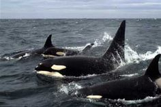 Pod of Killer Whales (Orcas), I saw them in the Caribbean when I did the Sea Semester