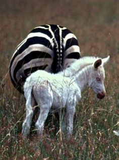 (disambiguation) An albino is an organism with the disorder albinism — the congenital lack of normal pigmentation. Albino may also refer to: Interesting Animals, Unusual Animals, Animals Beautiful, Strange Animals, Jungle Animals, Cute Baby Animals, Animals And Pets, Zebras, Giraffes