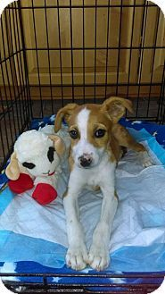 Gilbertsville, PA - Beagle/Jack Russell Terrier Mix. Meet Triscuit, a puppy for adoption. http://www.adoptapet.com/pet/17810793-gilbertsville-pennsylvania-beagle-mix