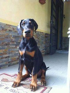 Cutie! Doberman Pinscher Puppy Dog Dogs Puppies Dobie Pinschers