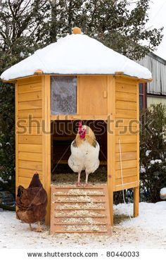 Too cold to leave home-cockerel standing in doorway of chicken coop on snowy day whilst hen stands below in the snow.