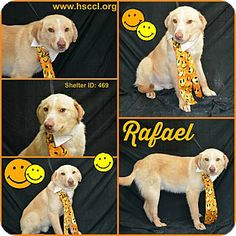 Plano, TX - Retriever (Unknown Type) Mix. Meet Rafael a Dog for Adoption. www.hsccl.org/Adoption_Application.html Facebook @ https://www.facebook.com/pages/Humane-Society-of-Cedar-Creek-Lake/155194581183469?sk=wall.  Look at that cute little smile! Sometimes it looks like he's smirking :)