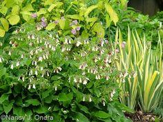 Dwarf comfrey (Symphytum grandiflorum)