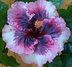Growing hibiscus is a very easy way to include an exotic flair to your garden. When you recognize the best ways to look after hibiscus plants, you will certainly be rewarded with many years of wonderful blossoms. Let's check out some ideas on how you can take care of hibiscus. #growinghibiscus #hibiscuscare #hibiscusgarden