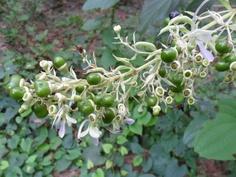Clerodendrum serratum