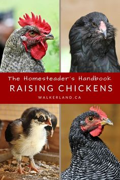 Discover everything you need to know about raising chickens. Take control over your food supply and enjoy the quality and convenience that comes with raising your own flock. Easy to read e-book with full color, high quality photographs. Chock full of practical facts and personal anecdotes, discover the exciting world of raising chickens!