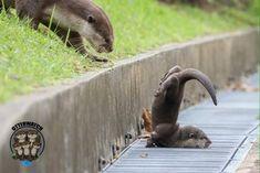 PsBattle: This Clumsy Baby Otter : photoshopbattles