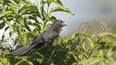 mis fotos de aves: Crotophaga ani Anó chico Smooth-billed ani