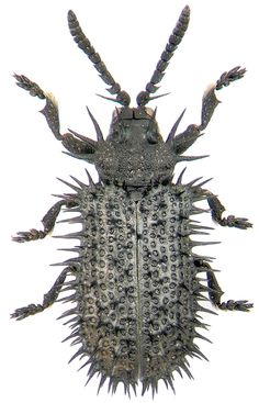amazing insects - Hispa atra Linnaeus