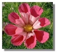 Image result for cosmos flower