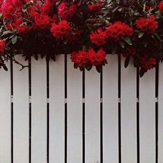 Red flowers, beautiful flowers, garden, fence, white and red Maroon Aesthetic, White Aesthetic, Aesthetic Photo, Aesthetic Pictures, Tumblr Wallpaper, Wallpaper Backgrounds, Iphone Wallpaper, Aesthetic Backgrounds, Aesthetic Wallpapers