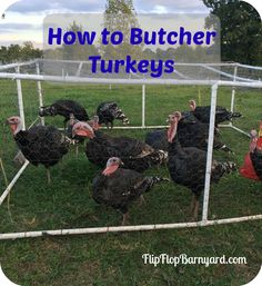 Butchering turkeys is much like the chicken butchering process. Just on a much larger scale. Here you go: How to Butcher Turkeys