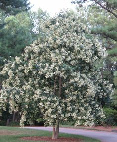 """Japanese crape myrtle """"Fantasy"""", grows much taller than traditional crape myrtles"""