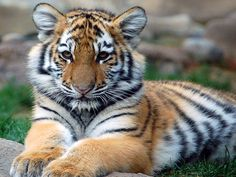 CUTEST WILD ANIMAL IN THE WORLD | Animal Picture Cute Tiger Cub Staring At Camera