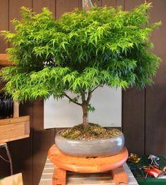 How to grow your own cannabis Bonsai Tree Marijuana Plants, Cannabis Plant, Cannabis Oil, Cannabis News, Ganja, Plantas Indoor, Cannabis Growing, Growing Weed, Herb Garden