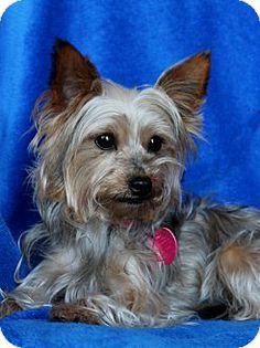 Pictures of Molly a Silky Terrier for adoption in Wichita, KS who needs a loving home. Terrier Rescue, Skye Terrier, Terriers, Rescue Dogs, Dachshunds, Doggies, Animal Rescue Site, Find Pets, Small Dog Breeds