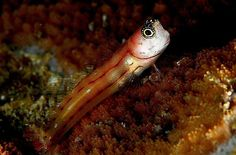 Blennies are a species of marine fish made up of 6 distinct families. They are characteristically small in size and are somewhat similar to gobies in appearance.
