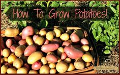 Growing Potatoes is SO EASY, even if you don't have much space! Plus a healthy french fry recipe.