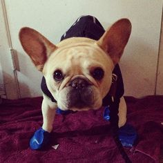 if walter kronkite, the frenchie is ready for the weather, then I guess I can be, too