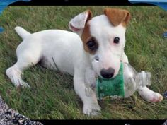 Jack Russell Terrier (The Jack Russell Song) This is adorable!