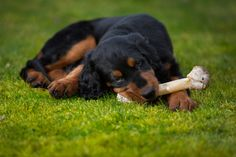 Gordon Setter Pup ~ Classic Look Setter Puppies, Dogs And Puppies, Gordon Setter, Dog Art, Classic Looks, Dog Breeds, Cute Dogs, Funny Animals, Art Photography