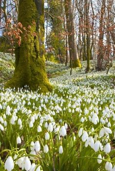 Snowdrops ~ the first sign of spring! Spring Flowers, Wild Flowers, Beautiful World, Beautiful Places, Plantation, Amazing Nature, Nature Photos, Beautiful Landscapes, Mother Nature