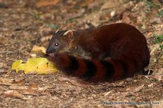 Ring-tailed Mongoose Mongoose, Madagascar, Pretty Pictures, Mammals, Highlights, Tours, Ring, Cute Pics, Rings