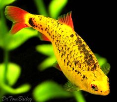 Neon Gold Barb