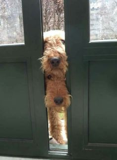 Peek-a-boo Airedales