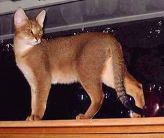 the chausie... another jungle cat hybrid...