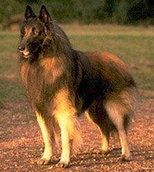 Belgian Tervuren - future dog?