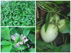 melão andino ou pêra melão, planta, flores e frutos
