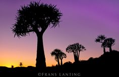 Quiver trees at dusk, Aloe dichotoma, Nieuwoudtville, South Africa
